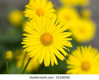 Summer yellow flowers Doronicum. Ornamental plant in the Asteraceae family.