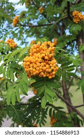 Summer yellow mountain ash on the tree.
