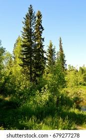 summer.forest.