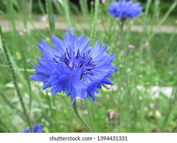 Summer's blue flower in bloom