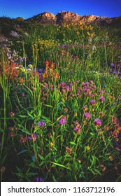 Summertime alpine wildflowers bloom in a sea of colors in Albion Basin of Alta, in the Wasatch mountains of Utah.