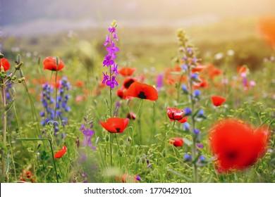 arrière-plan estival, pré coloré avec des pavots rouges et des fleurs d'été sauvages au lever du soleil du matin, paysage nature panoramique