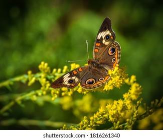 Summertime Buckeye Butterfly on Flower