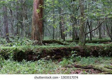 Summertime deciduous forest with broken tree moss wrapped in foreground, Bialowieza Forest, Poland, Europe