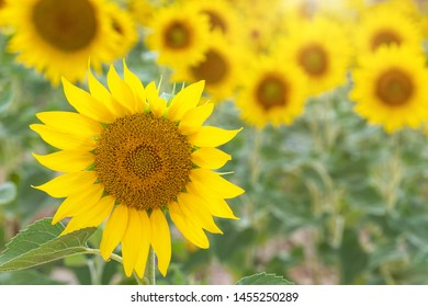 Summertime - sunflowers. Field of blooming sunflowers.