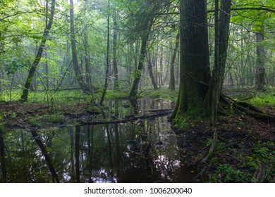 Summertime sunrise in wet deciduous stand with old oak tree in foreground and standing water, Bialowieza Forst, Poland, Europe