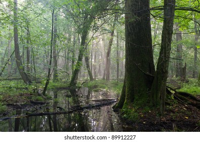 Summertime sunrise in wet deciduous stand of Bialowieza Forest with old oak tree in foreground and standing water