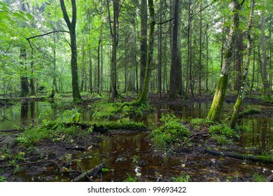 Summertime sunrise in wet deciduous stand of Bialowieza Forest with standing water