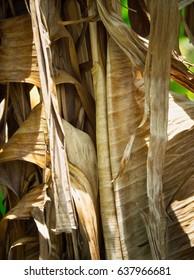 Summertime In Thailand : Dry Banana Leaves