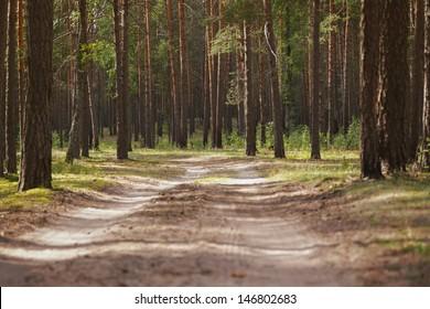 summertime in tranquil pine forest, evening sunlight