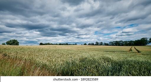 Summery cornfield with ruts in the Uckermark region between Brüssow and Carmzow