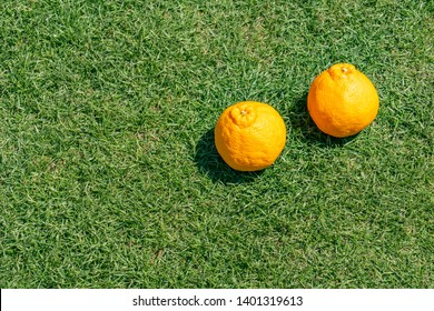 Sumo Mandarin on green grass. Sumo Mandarin is a name that fits this new orange because of its size and its distinctive topknot, like a sumo wrestler's.