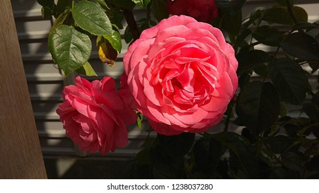 Sumptuous, pink roses sunlit. The pink petals of each bloom are beautifully arranged around a button eye.