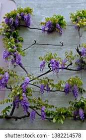 Sumptuous violet wisteria flower blossom covered grey concrete wall. Spring season in Germany city.