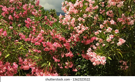 Sumptuous,mounded Oleander shrub produces loads of pink blossoms contrasting with green leaves. Prolific Pink Oleander shrubs in the sunshine. Perfumed pink flowers clustered at the end of each branch