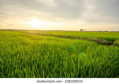 The sun is about to reach the horizon on rice Seedlings background texture.