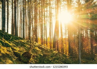 The sun among the pines growing on the mossy soil autumn landscape