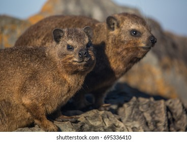 Sun bathing rock hyrax aka Procavia capensis at the Otter Trais at the Indian Ocean in South Africa