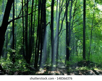 Sun beams burst through the forest canopy. Northern Woodlands, Michigan.