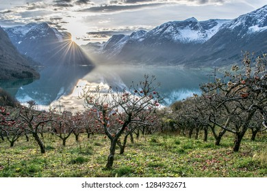 Sun beams stretching out to a garden full of apple trees . Photo from Flo in Oppstryn , in Norway .