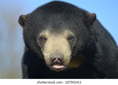 Sun Bear - Close up portrait