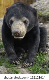 Sun Bear cub portrait - Young bear looking into the camera