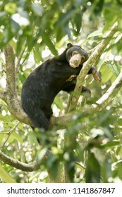 Sun Bear (Helarctos malayanus) - Resting in the Tree