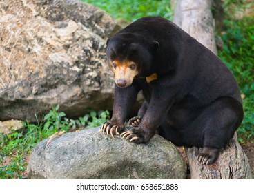 sun bear, Helarctos malayanus, sits on log exhausted with heat