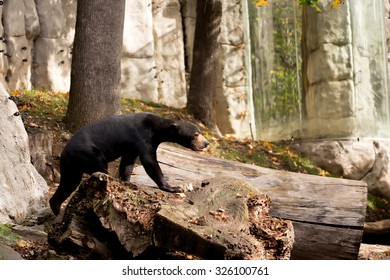 Sun bear also known as a Malaysian bear (Helarctos malayanus)