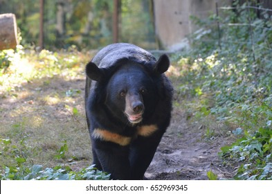 Sun bear moving along at a slow forward pace.