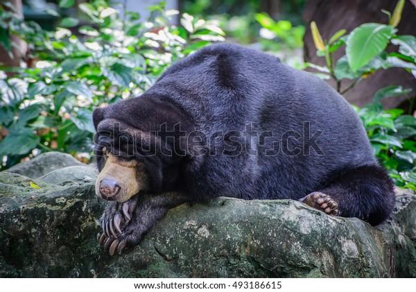 Sun bear sleeping on stone