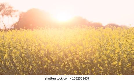 Sun behind beautiful Organic Mustard field, in Punjab, India