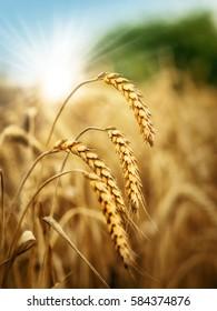 Sun behind a wheat field.