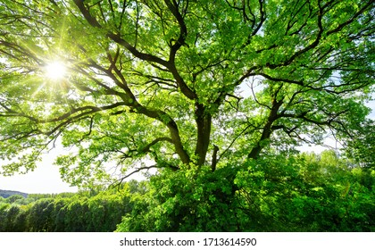 The sun brightly shines through the crooked branches of a majestic green tree - Shutterstock ID 1713614590