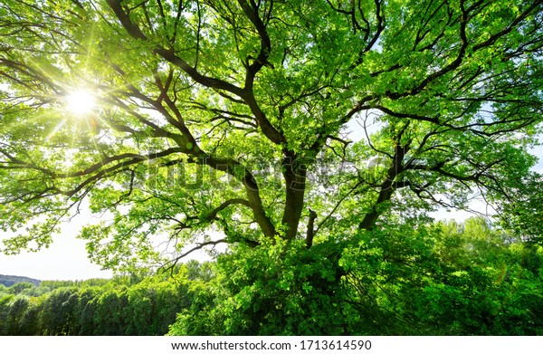 The sun brightly shines through the crooked branches of a majestic green tree
