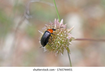 Sun bull (Heliotaurus ruficollis) is a polyphagous daytime beetle of the family Tenebrionidae very common in the western Mediterranean region. It plays a role in pollinating the flowers it feeds on.