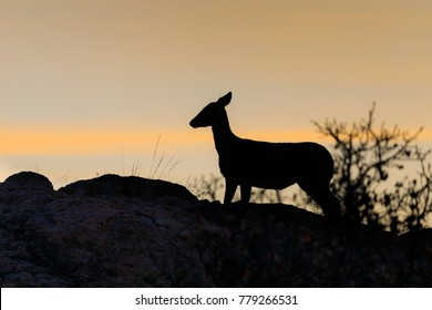 The sun casting a orange glow silhouetting a White-Tailed deer in the early morning at the Wichita Mountains National Wildlife Refuge, November 2017