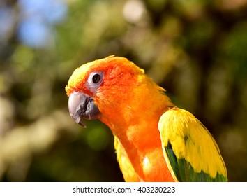 Sun Conure Parakeet. Parrot. Animal Face