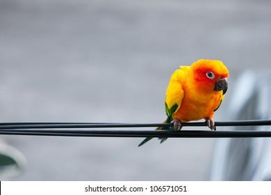 sun conure parrot on cable line