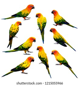 Sun cornure or parakeet, beautiful yellow and orange parrot birds isolated on white background