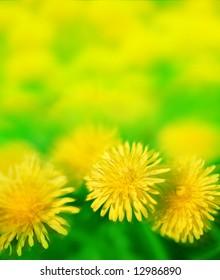 sun dandelion meadow
