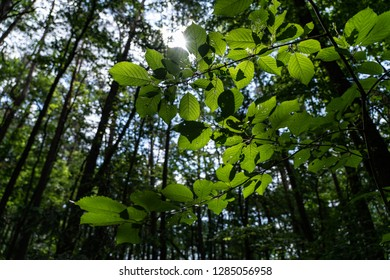 Sun dramatically casting intense rays through a large trees. Summer day inside a deep forest.