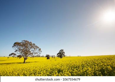 The sun drenching a field of yellow canola flowers on a Western Australian spring afternoon.