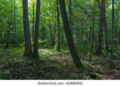Sun entering rich deciduous forest in morning with hornbeam trees in foreground,Bialowieza Forest,Poland,Europe