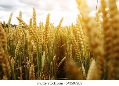 The sun field of rye