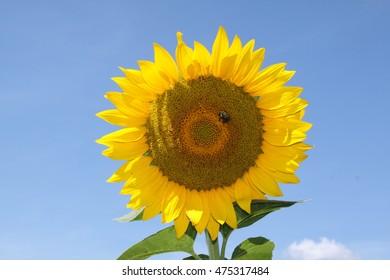 Sun Flower against blue sky