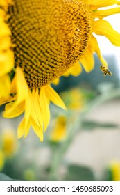 Sun flower and bee. the nature on the earth