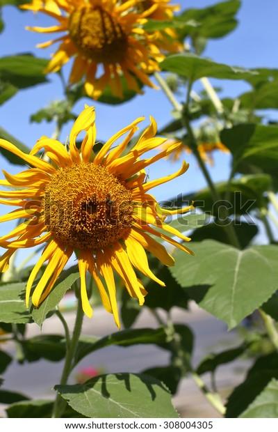 sun flower and  blue sky, Sunflower field