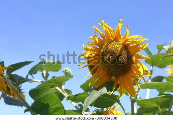 sun flower and  blue sky,Sunflower field