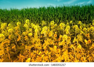 sun Flower field in austria